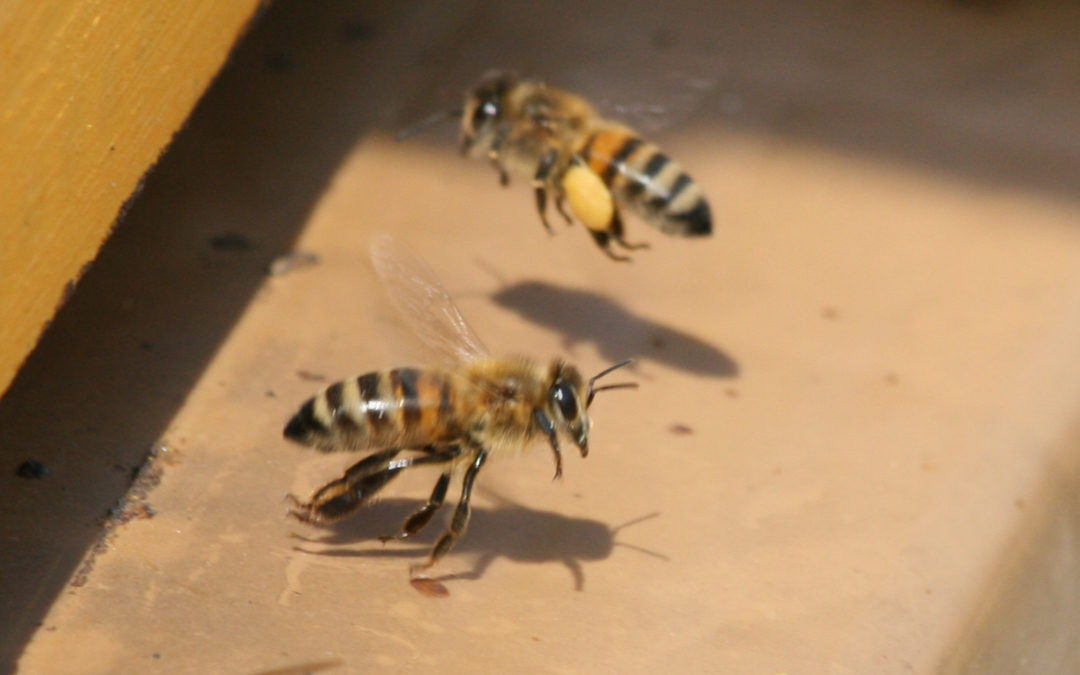 Des nouvelles du rucher : traitement contre le varroa